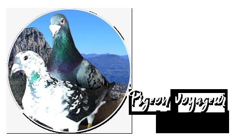 Pigeon voyageur vençois