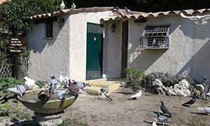 image pigeon-voyageur-soins-quotidiens