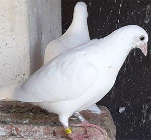 image pigeon-voyageur-mes-jeunes