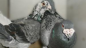 image pigeon-voyageur-mes-reproducteurs